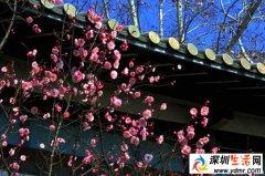 2019年南京梅花节是什么时间 南京梅花什么时候开