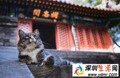 故宫的猫是什么猫为什么火了?网红院长单霁翔谈故宫的猫了什么?